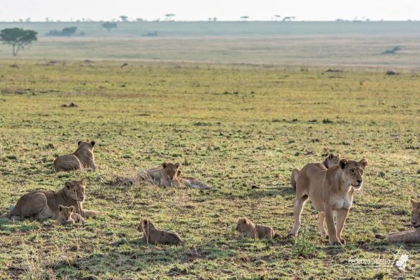 Un branco di leonesse con i cuccioli, all'alba (Serengeti)