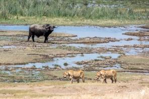 Un bufalo si vede scorrere la vita davanti in questo momento di tensione, quando due leonesse gli sfilano davanti mentre è bloccato su un'isoletta nel fiume.