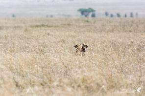 Due ghepardi nella savana