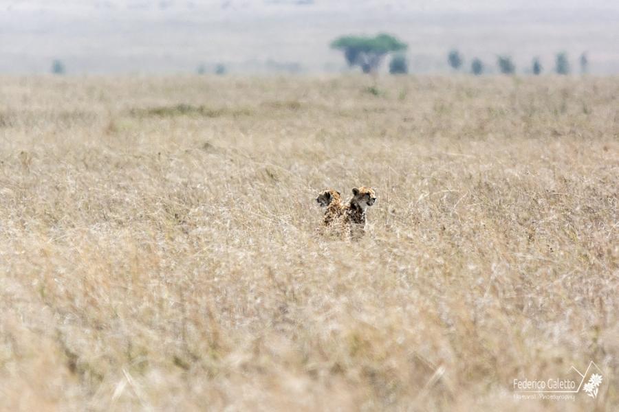 Africa - Coppia di ghepardi