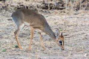 Dik-Dik, il più piccolo membro della famiglia delle antilopi. Un adulto maschio, come questo in foto, raggiunge le dimensioni di un cane di taglia media