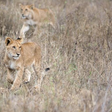 Giovani leonesse a caccia nel Serengeti