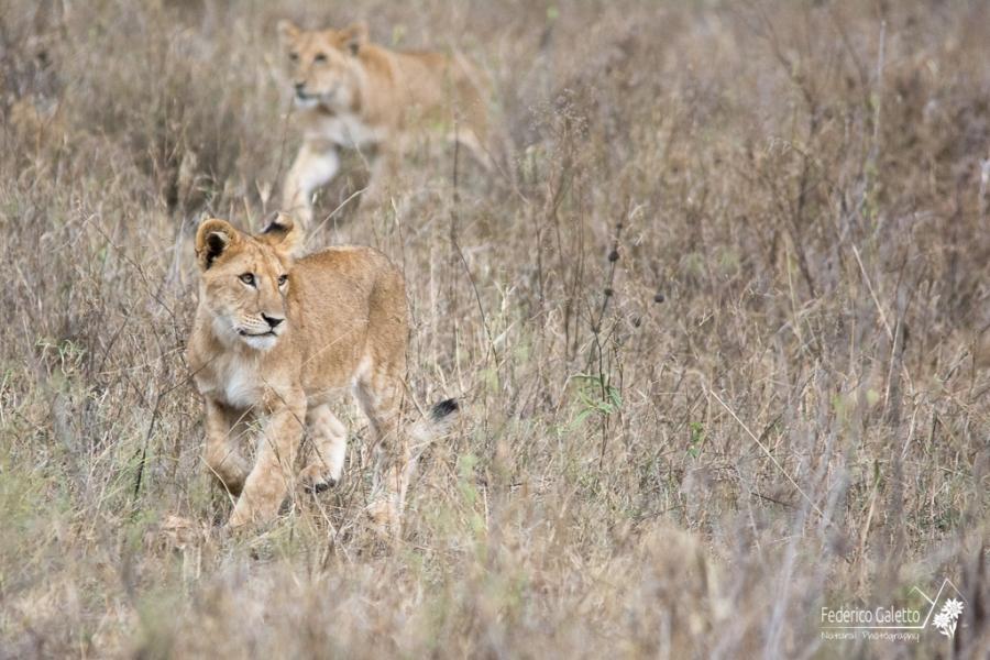 Africa - Giovani leonesse a caccia