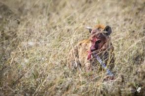 Tutta la ferocia di questo terribile predatore emerge durante il pasto. La iena mangia di tutto, carogne, prede vive e cuccioli di altri predatori.