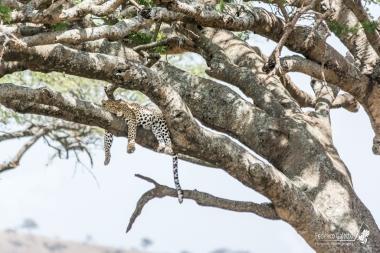 Un leopardo riposa sul ramo di un albero. Questo è il modo preferito dal grande felino per passare le giornate, dedicandosi alla caccia di notte.