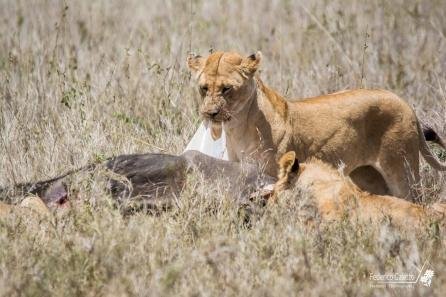 Un gruppo di leonesse si sfama con il bisonte appena catturato
