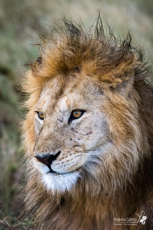 Uno scatto che per me vale il viaggio. Negli occhi di questo fiero maschio, sotto la pioggia, c'è l'essenza e il fascino di questo meraviglioso predatore