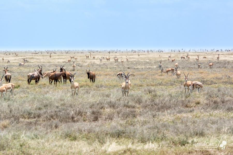 Un branco di Antilopi si estende fino all'orizzonte