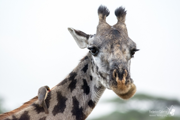 Ritratto di giraffa con la tipica espressione basita del ruminante. Si noti la presenza dell'onnipresente buphagus, che pulisce la giraffa da zecche e parassiti