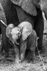 Piccolo di elefante, probabilmente nato da poche settimane