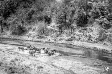 Branco di elefanti si disseta lungo le sponde del fiume, nel parco Tarangire
