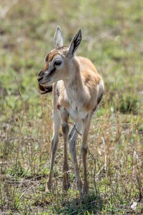 Un piccolo di Gazzella di Thomson. Per questi piccoli appena nati, il pericolo dei predatori rappresenta una vera minaccia.