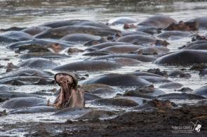 Un ippopotamo sbadiglia, in mezzo al suo branco sommerso nel fango in una pozza nel Serengeti