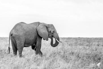 """Un elefante pascola tranquillo nella savana. L'estrema intelligenza di questi animali emerge anche nelle espressioni, spesso molto """"umane"""" (qui quasi mi sembra sorrida per restare bene nella foto)"""