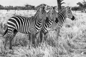 Le striature assumono una sfumatura psichedelica quando più zebre si affiancano, esaltando la bellezza di questa livrea unica sul pianeta