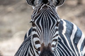 Particolare di Zebra - Tarangire