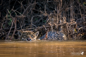 Al contrario della maggior parte dei felini, il giaguaro è un nuotatore eccezionale, e non teme l'acqua.