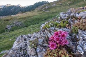 Sempervivum in fiore nel vallone