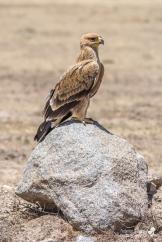 La fierezza e la maestosità nel portamento di quest'Aquila rapace, troneggiante sopra ad un masso nella Savana (Serengeti)