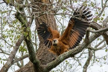 Un Falco dal Collare richiama l'attenzione sbattendo le ali e emettendo il suo richiamo, quasi ad affermare il dominio sul proprio territorio, dall'alto del suo castello.