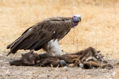 Un avvoltoio si ciba dei resti di un giovane Gnu. Nonostante i 30 metri di distanza, l'odore era insopportabile