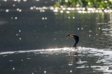 Immersione dall'esito fortunato per questo cormorano [Rio Tres Irmao, Pantanal], mentre noi accanto eravamo in attesa del Giaguaro