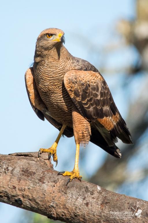 Un falco si mette in posa, come un cavaliere in attesa del proprio turno al torneo. La calda luce dell'alba mette in risalto la complessa livrea del suo piumaggio. Nei suoi occhi, la determinazione del guerriero.