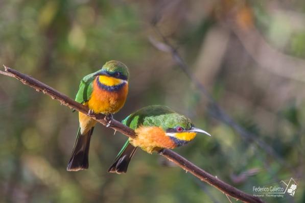 """Maschio e femmina di Gruccione Africano, chiamato anche """"Bee Eater"""" per la sua abilità di cacciare api e vespe in volo e cibarsene senza correre pericoli."""