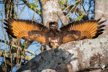 Un balzo nel vuoto, le ali spiegate, e un grido di guerra per far sprigionare l'energia della caccia. L'urlo del predatore vibra nell'aria e lo sguardo magnetico penetra nelle difese psicologiche della preda, come un incantesimo di pietrificazione.
