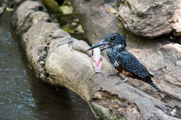 Un Martin Pescatore Gigante si riposa dopo la sua favolosa cattura! Da lì a poco inizierà a sbattere la carcassa del pesce sul tronco fino a smaciullarne il capo, in modo da poter ingerire il corpo senza incorrere in problemi digestivi. (Nei pressi del Lago Manyara)