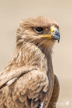 Ritratto di Aquila Rapace, che posa con fierezza per me. (Serengeti)