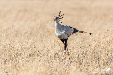 Un Serpentario passeggia nel Serengeti. Questo è uno dei pochi rapaci a cacciare senza volare, semplicemente spiccando balzi per sorprendere le proprie prede preferite: rettili!