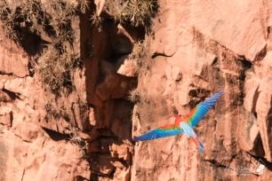 """Un esemplare plana dolcemente attraverso il """"Buraco"""", regalando una panoramica in RGB dei cromatismi del proprio piumaggio"""
