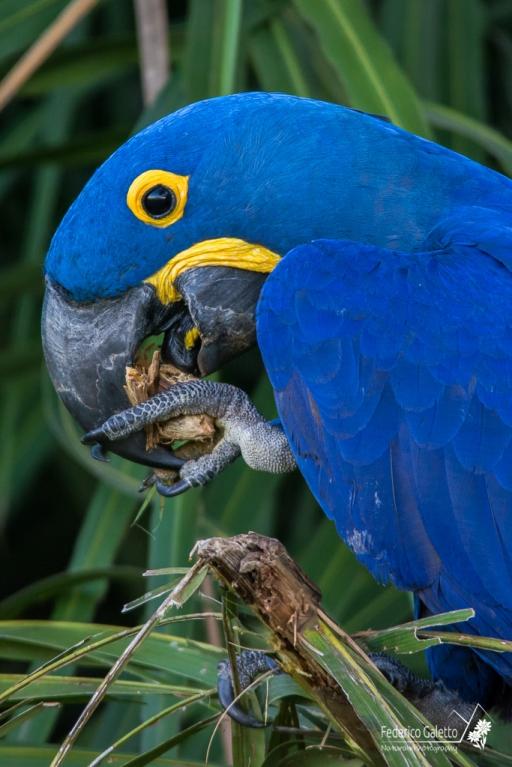 Negli occhi di questo Arara Azul si scorge l'intelligenza di cui sono dotati questi volatili maestosi (Pantanal)
