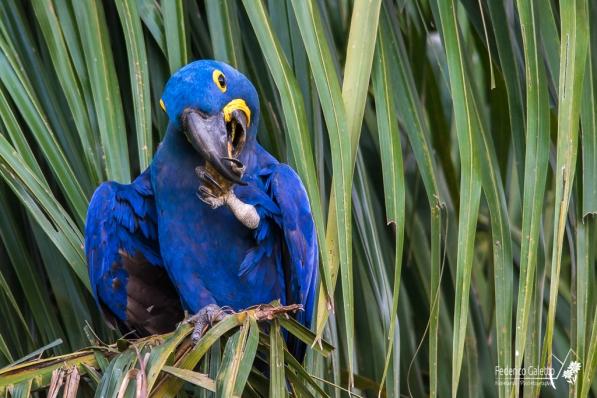 Un Arara Azul Grande sgranocchia tranquillamente il frutto raccolto a terra (Pantanal)