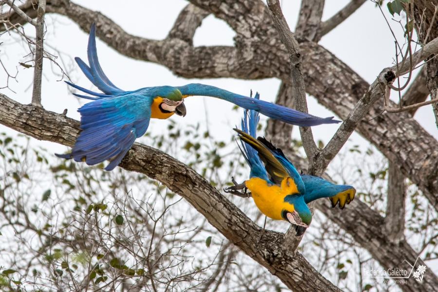 In questo fortunato scatto ho immortalato il balzo nel vuoto di una coppia di Arara Canindè, pronti a spalancare le ali e volare fino al prossimo posatoio (Transpantaneira)