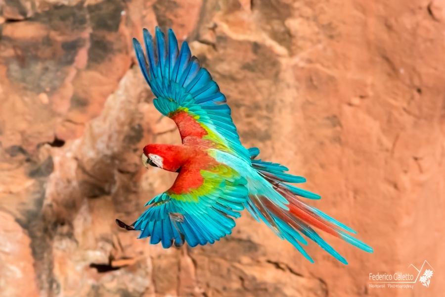 Indiscutibile l'assoluta bellezza di questi angeli cromatici. L'intensità dei colori e il loro contrasto mozza il fiato in questa particolare posa ad ali spalancate. (Buraco das Araras)