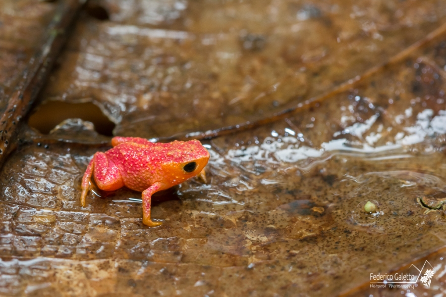 Come tutte le altre rane, il clima umido della foresta è indispensabile per la loro sopravvivenza. Il fatto di trovarmi nella Serra do Mar in un giorno di pioggia ha sicuramente massimizzato le chance di incontrare il maggior numero di esemplari in superficie.