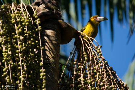 Araçari-Banana (Saffron Toucanet)