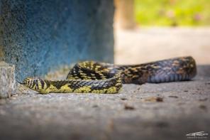 Caninana (Spilotes pullatus), un serpentone mangiatore di serpenti