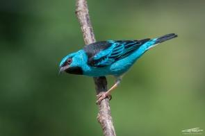 Saì-Azul (Blue Dacnis) - L'incredibile saturazione dei colori tropicali lascia senza fiato ogni volta