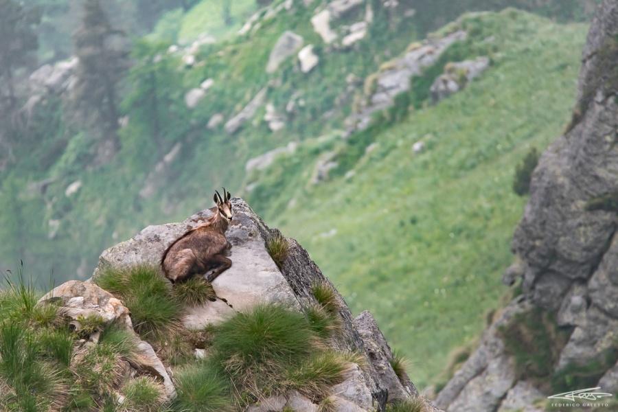 """Comodamente adagiato sopra ad uno sperone roccioso, questo camoscio sembra godersi la luce mattutina, e dominando la valle sottostante pare volermi sussurrare: """"Questa è la nostra terra!"""""""