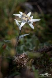 La regina indiscussa dai fiori d'alta quota, la Stella Alpina