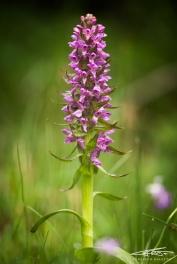 Dactylorhiza Maculata (Orchide Macchiata)