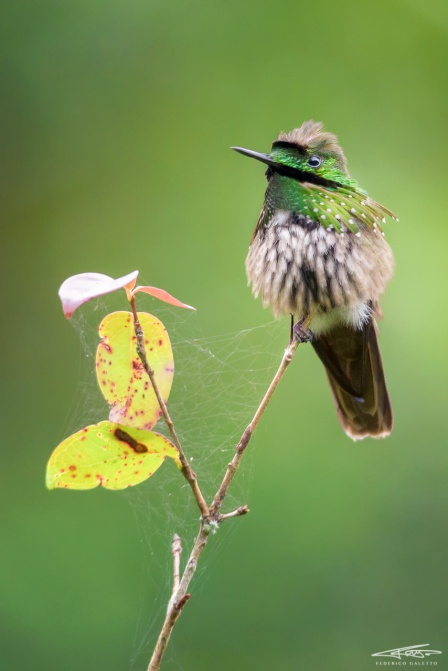 Topetinho-Verde Maschio
