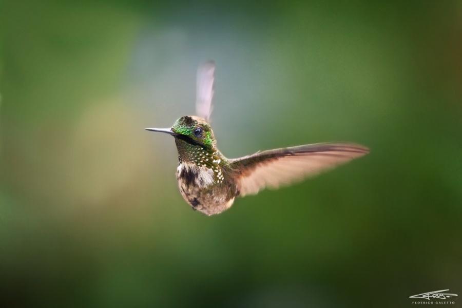 Topetinho-Verde Maschio in volo